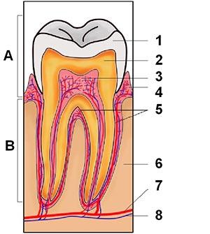 Opbygning af tand